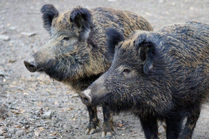 Pesta Porcină Africană focare de pesta porcină africană