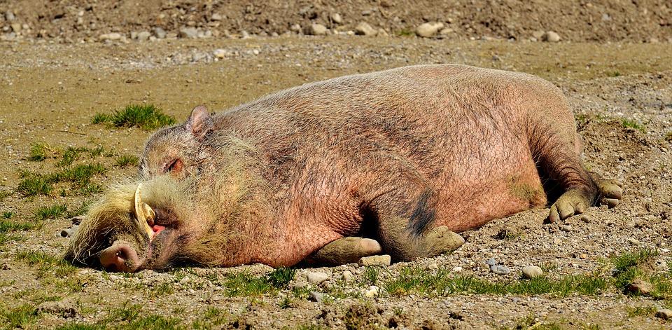 Trimitem cercetători în Vietnam pesta porcină africană