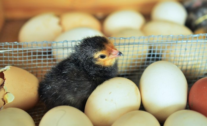 ouă gripă aviară